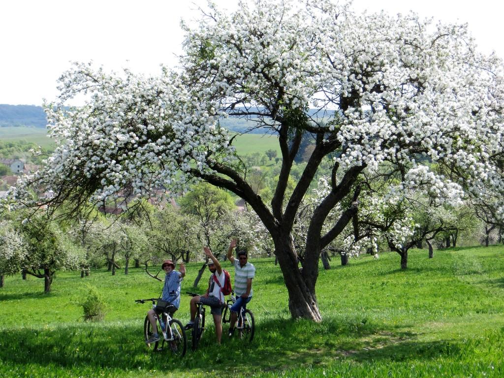 Obstblüte in Transsilvanien