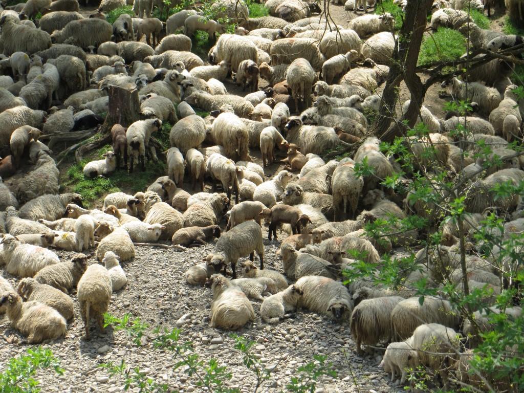 Eine Schafherde macht Rast