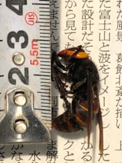 女王蜂3センチ