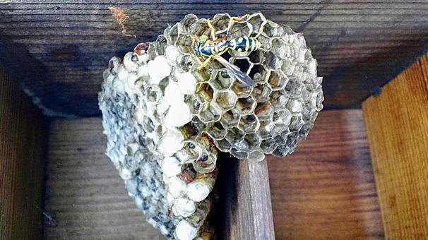 ハート型のハチの巣