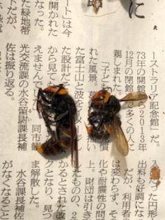 女王蜂と働き蜂の比較