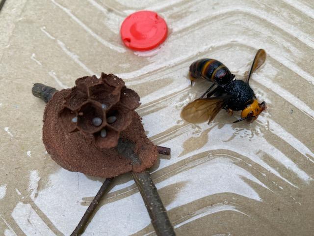 粘着版で捕獲した女王蜂