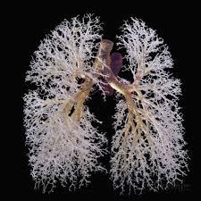 Modelo de Circulación pulmonar