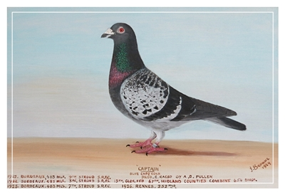 'Captain' Racing Pigeon Champion 1920's