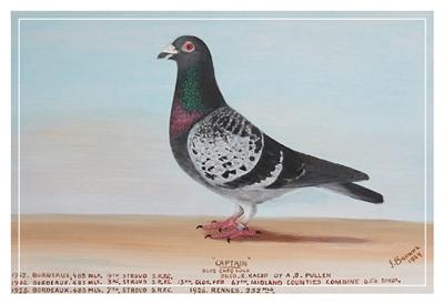 'Captain' Racing Pigeon Champion 1920's