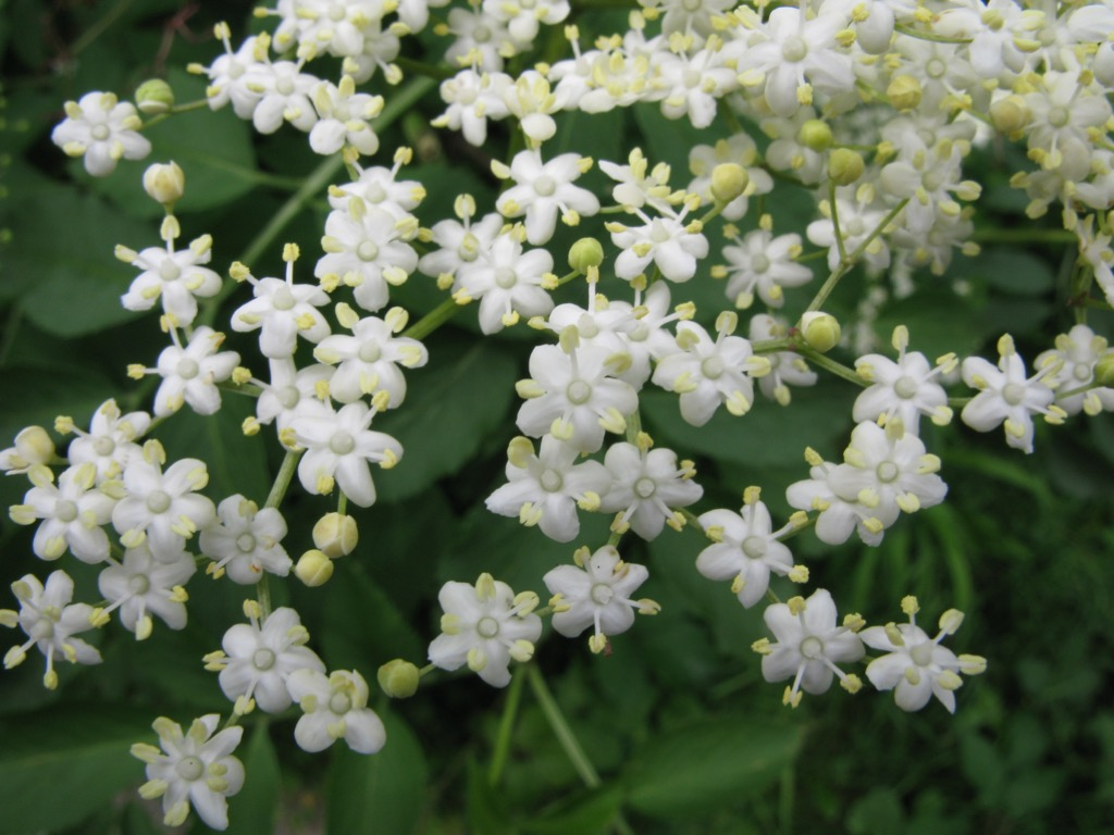 Blühender Holunder im Juni