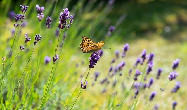 Lavendel snoeien? - De beste tips en tuin weetjes