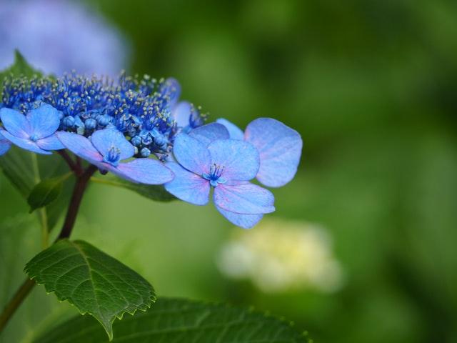 Wanneer snoeien Hortensia? Snoeitips Annabelle en Boerenhortensia