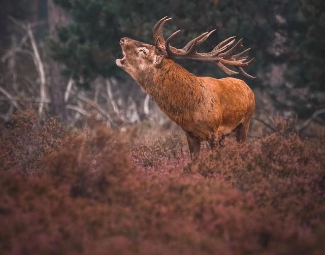 Wanneer is de bronsttijd van de herten op de Veluwe?