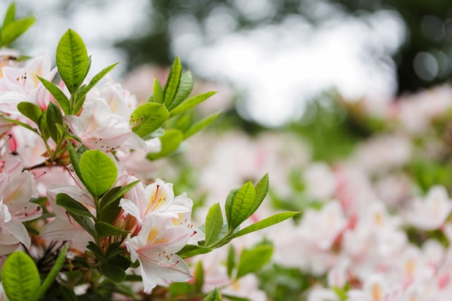 Japanse Azalea winterhard en groenblijvend