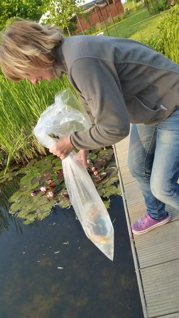 1. Aussetzung von 3 Graskarpfen bzw. Carpe d'Amur in den Schwimmteich (Ping, Peng, Pong)