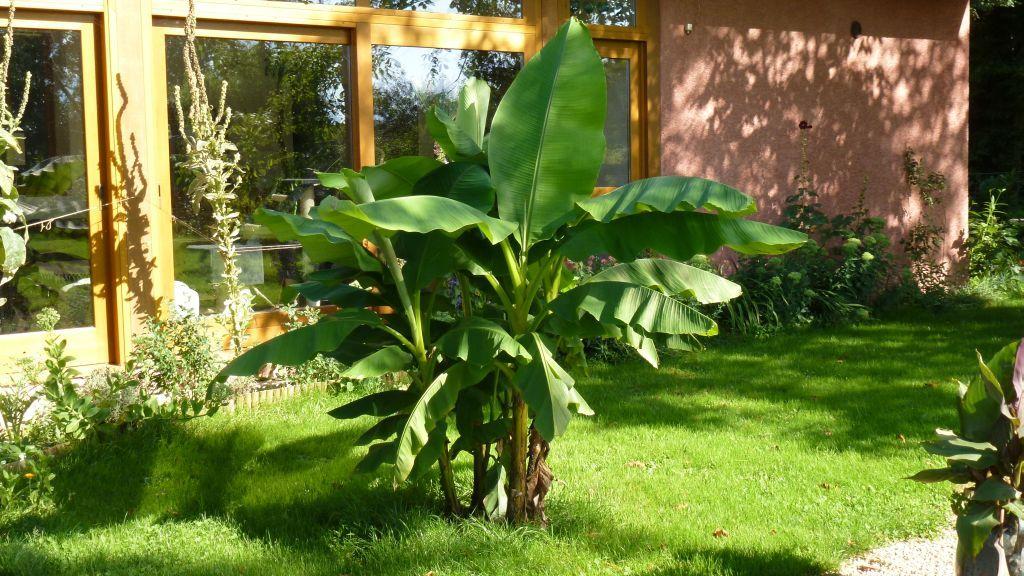 Die Banane wächst und gedeiht prächtig