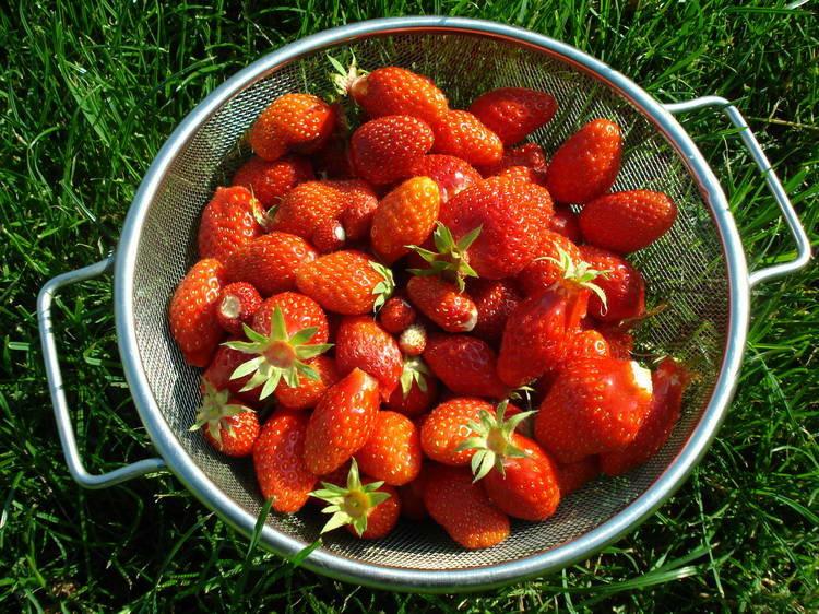 Reiche Erdbeerenernte
