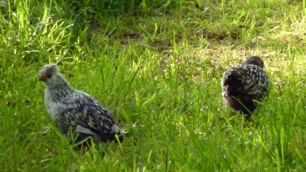 Mitte Juni sind die Junghühner etwa 5 Wochen alt