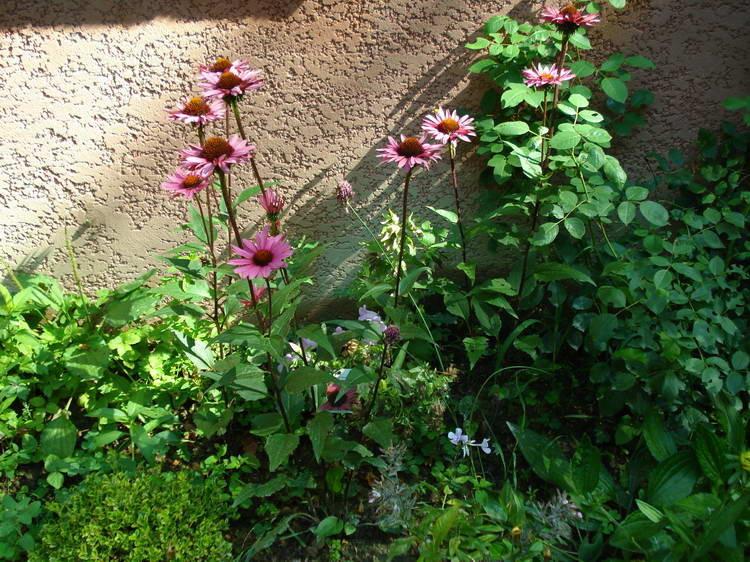 An der Südwand blühen Echinacea