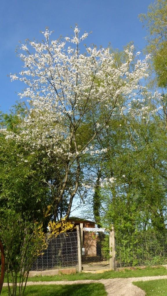 Kirschbaum beim Hühnerstall in voller Blühte