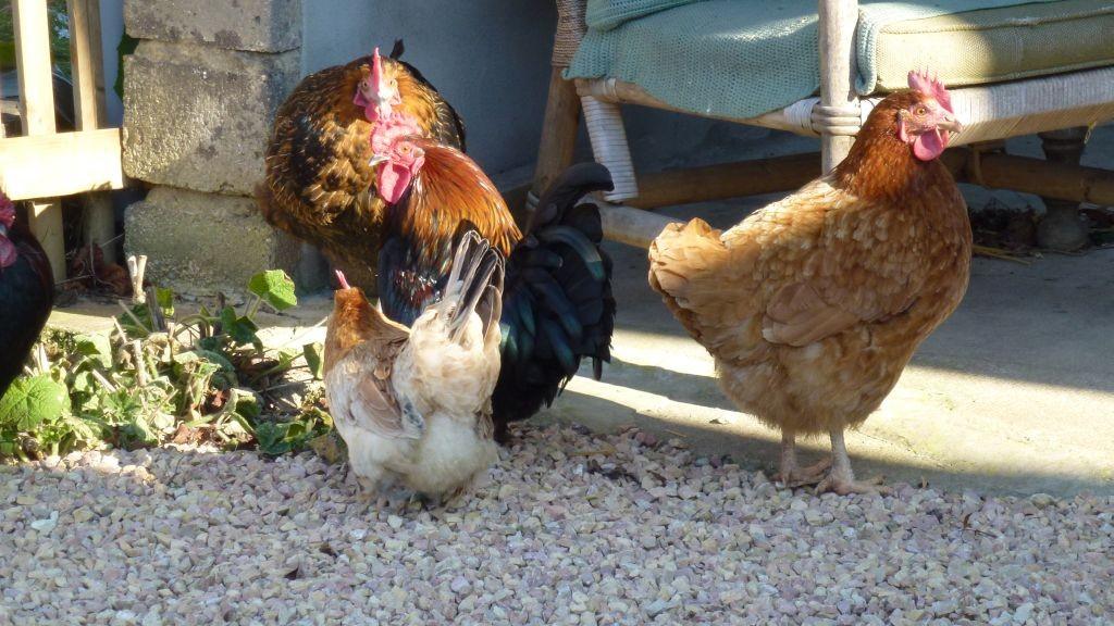 Ein Teil der Hühnerschar