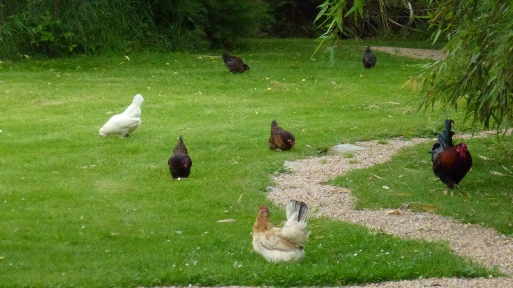 Immer wieder sind die Hühner ausserhalb des Geheges unterwex