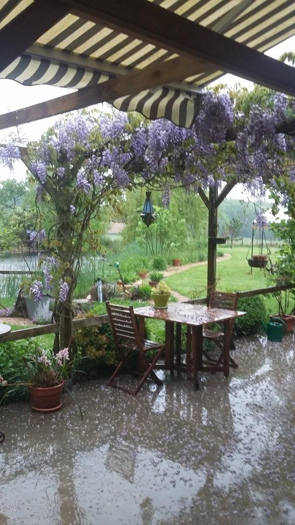 Regenwetter - die Glyzinien blühen trotzdem herrlich