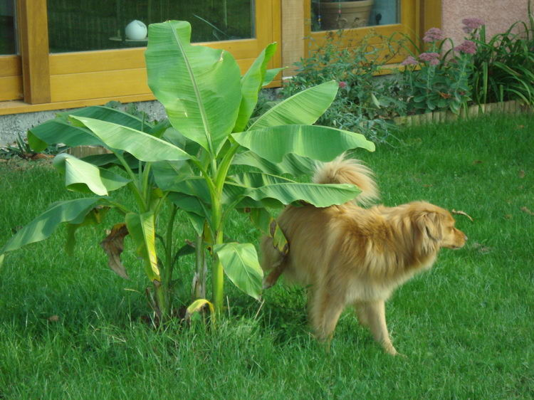 Kein Wunder gedeiht die Banane so gut