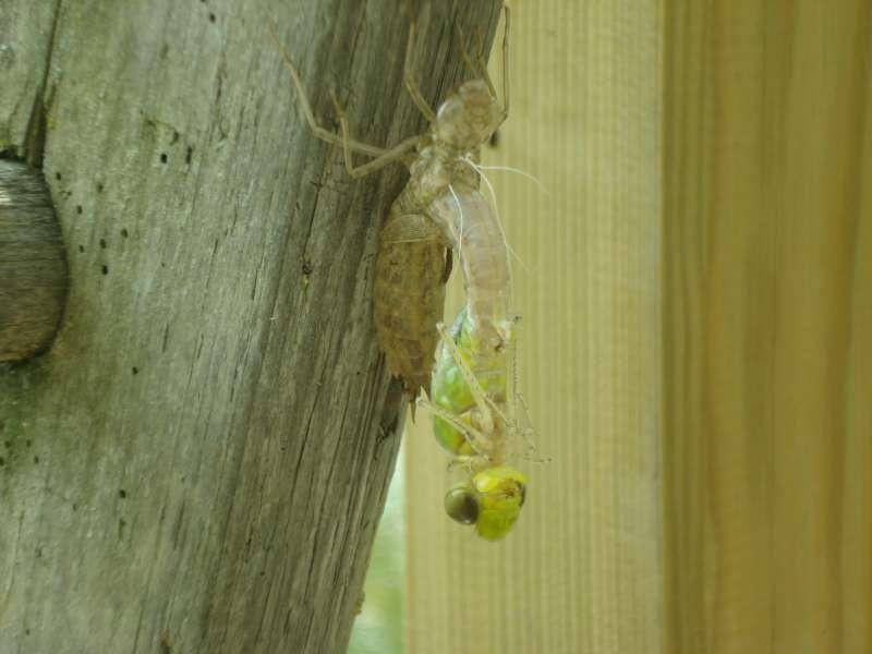 Libellen schlüpfen an diesem Pfingstwochenende massenhaft - wir können sie herrlich beobachten