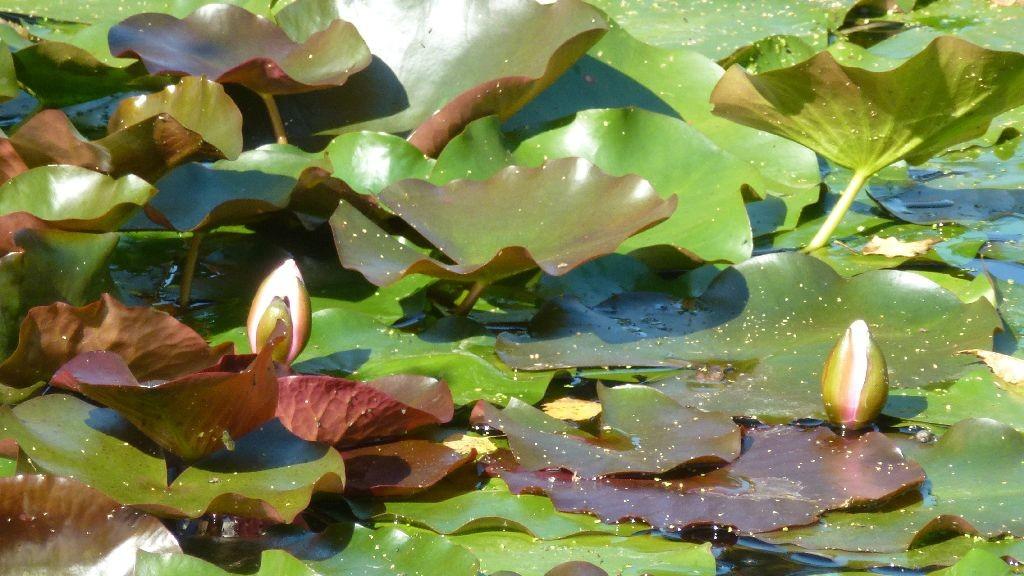 Der vordere Teich hat prächtige Seerosen