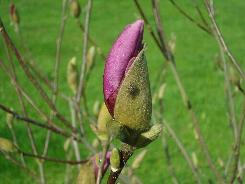 Der Frühling kehrt ein - Magnolie