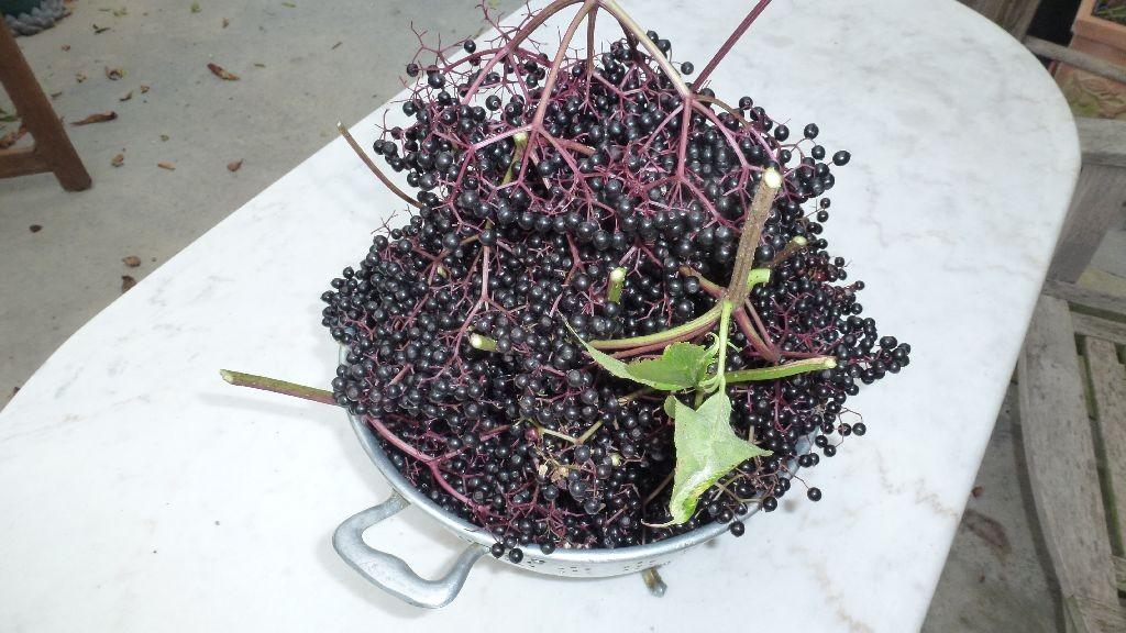 Der Holunderbusch trägt das erste Mal reich an Früchten