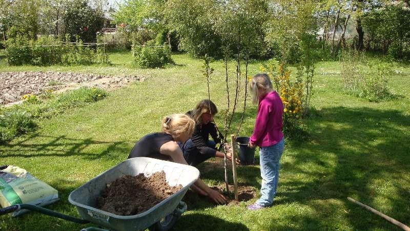 Ein Birnbaum wird gepflanzt