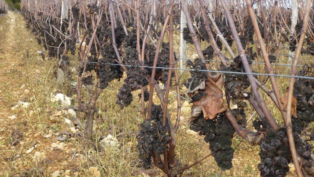 Vertrocknete und gefrorene Weintrauben