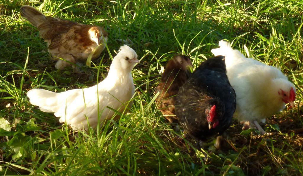 Die Hühner im Paradies