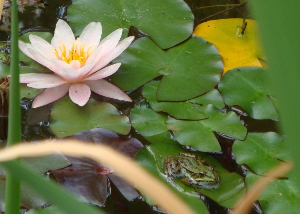 Seerose und Frosch