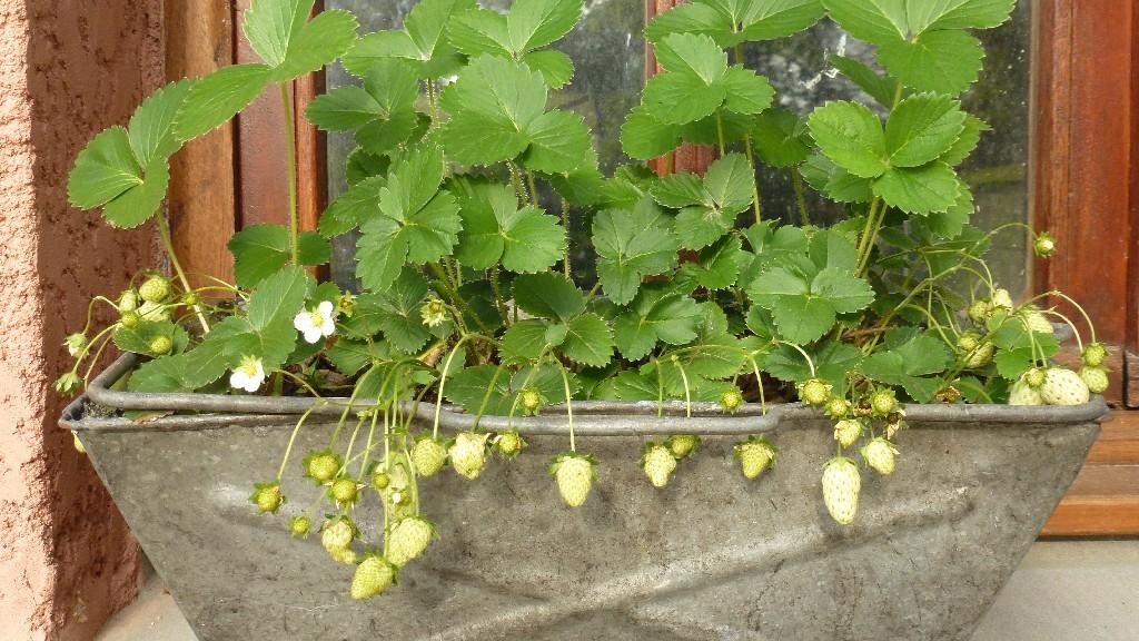 Die Erdbeeren wachsen