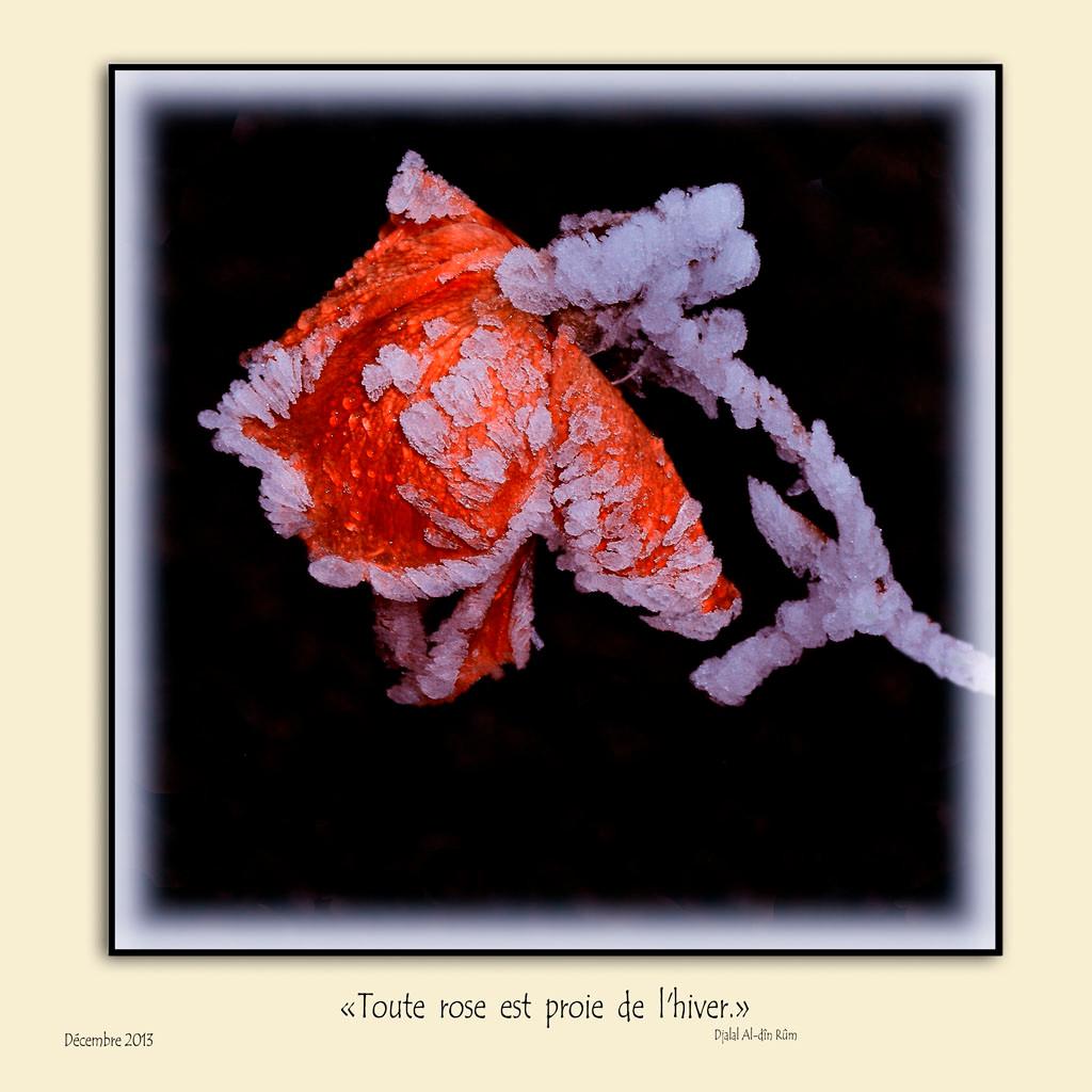 Rose prisonnière du givre.