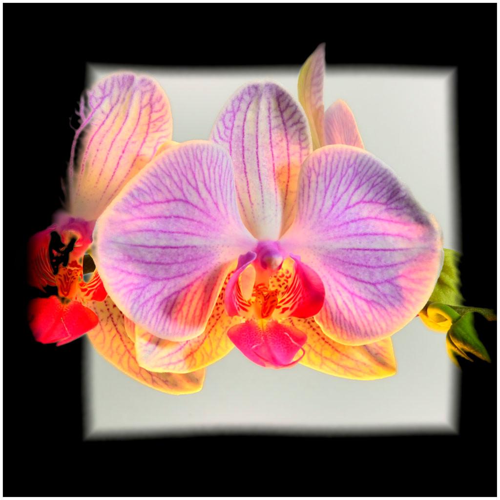 orchidée phalaenopsis (lowkey)