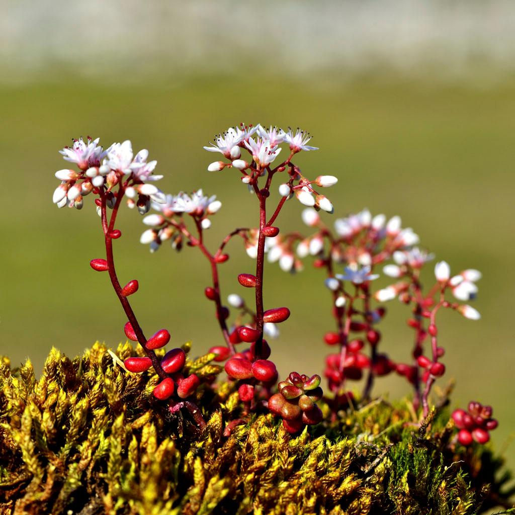 Flore arctique.