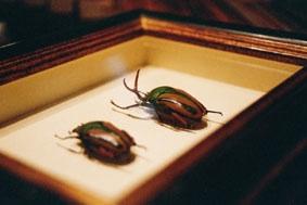 Schaukasten Objekt-Rahmen für Insekten