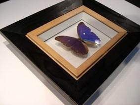 Objektrahmen für Schmetterlinge und Insekten