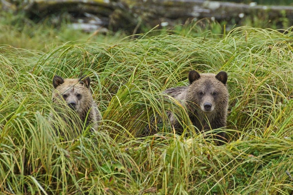 Grizzly Jungs, Glendale Cove