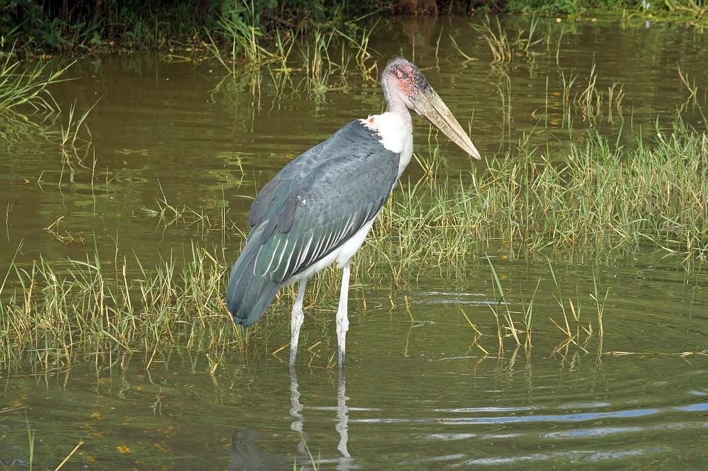 Marabu am Lake Ziway
