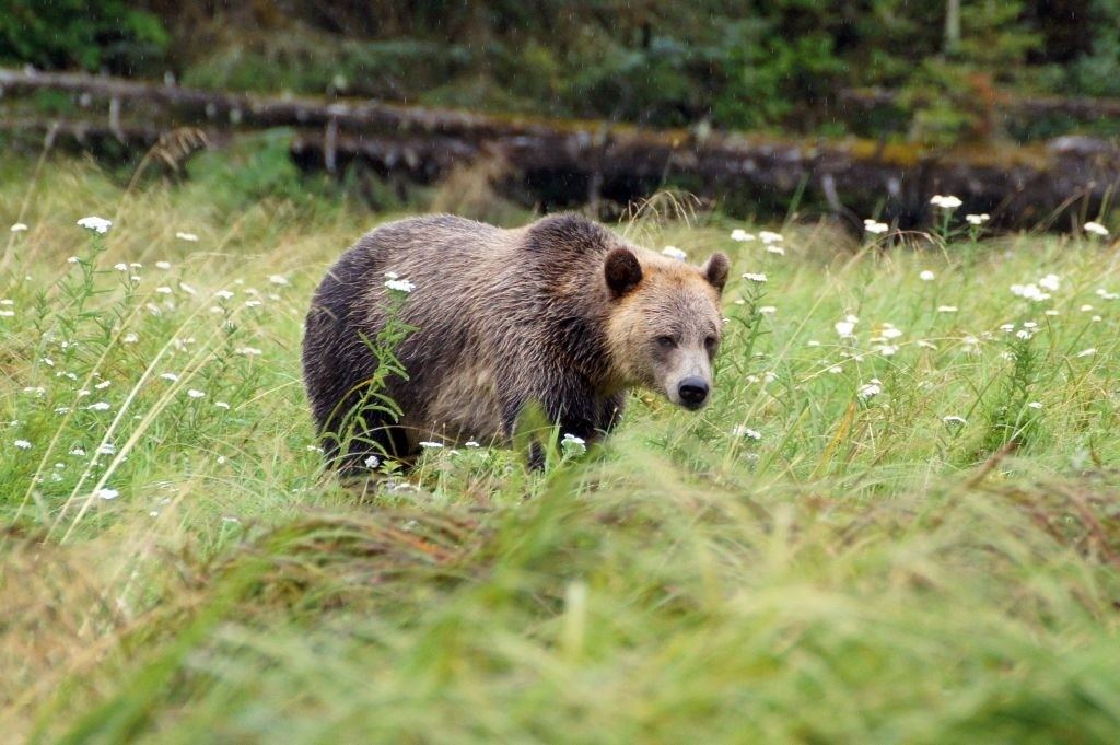 "Grizzly Mum ""LENOR"", Glendale Cove"