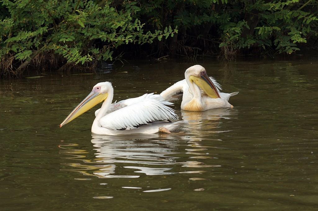Pelikane am Lake Ziway