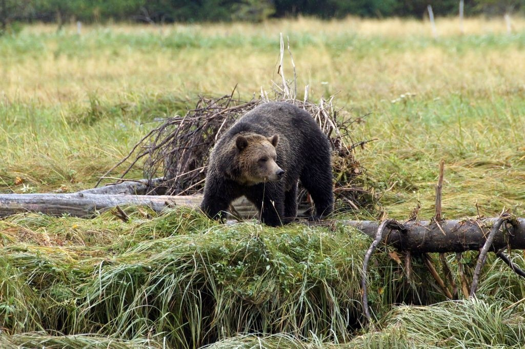 Grizzly Männchen, Glendale Cove