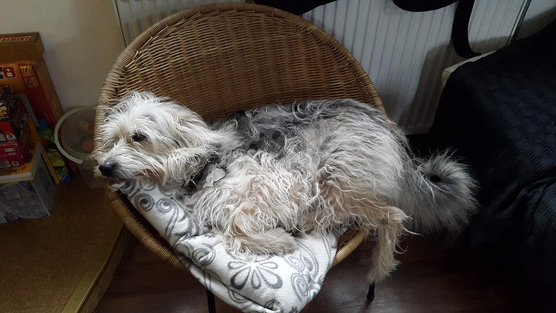 Sandro, 'mißglückter' Zuchtversuch (weiße Fellflecken und Krallen) eines ungarischen Hinterhofzüchters, der sich auf Cos und Picards 'spezialisiert' hatte. Er wurde als Kettenhund verscherbelt und kam über einen Tierschutzverein, völlig verängstigt, ...