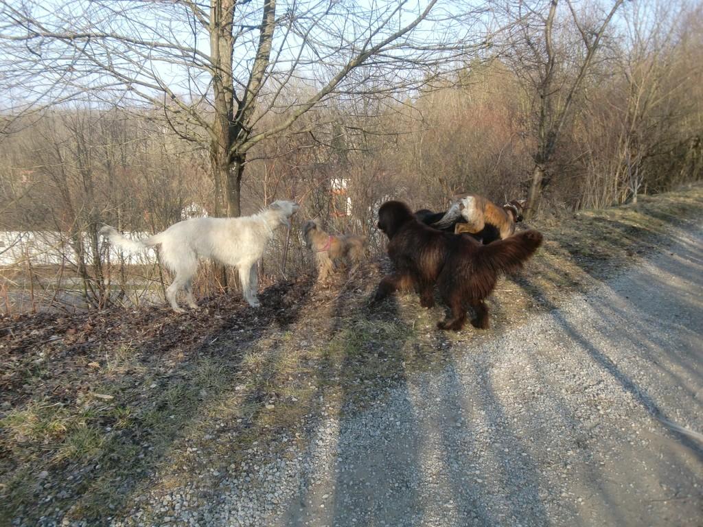 Leila mit ihren großen Freunden (Dt. Dogge, 2 Neufundländer, Irisher Wolfshund)