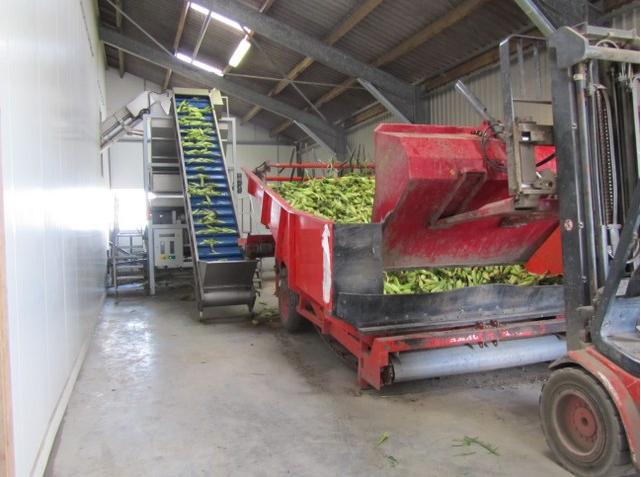 Tarladan gelen mısır besleyici bantla fabrikaya aktarılıyor