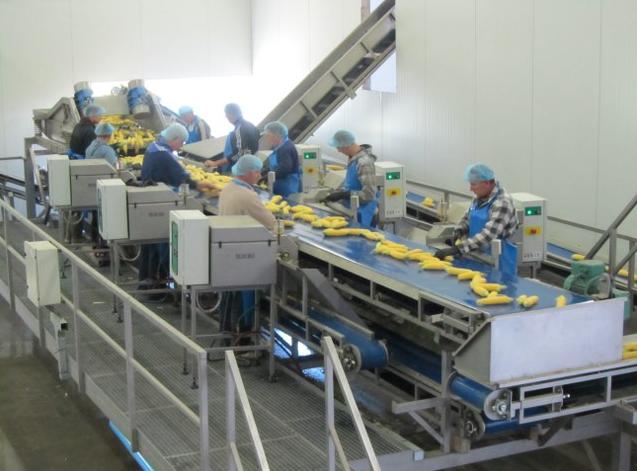 Mısır taneleme makinesine mısırlar elle veriliyor
