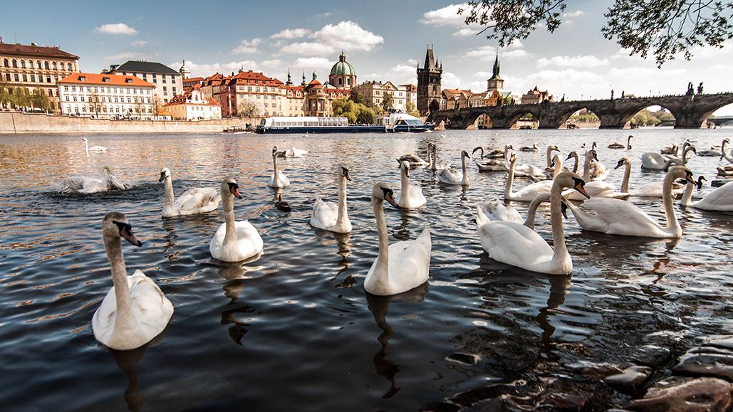 cigni - Praga