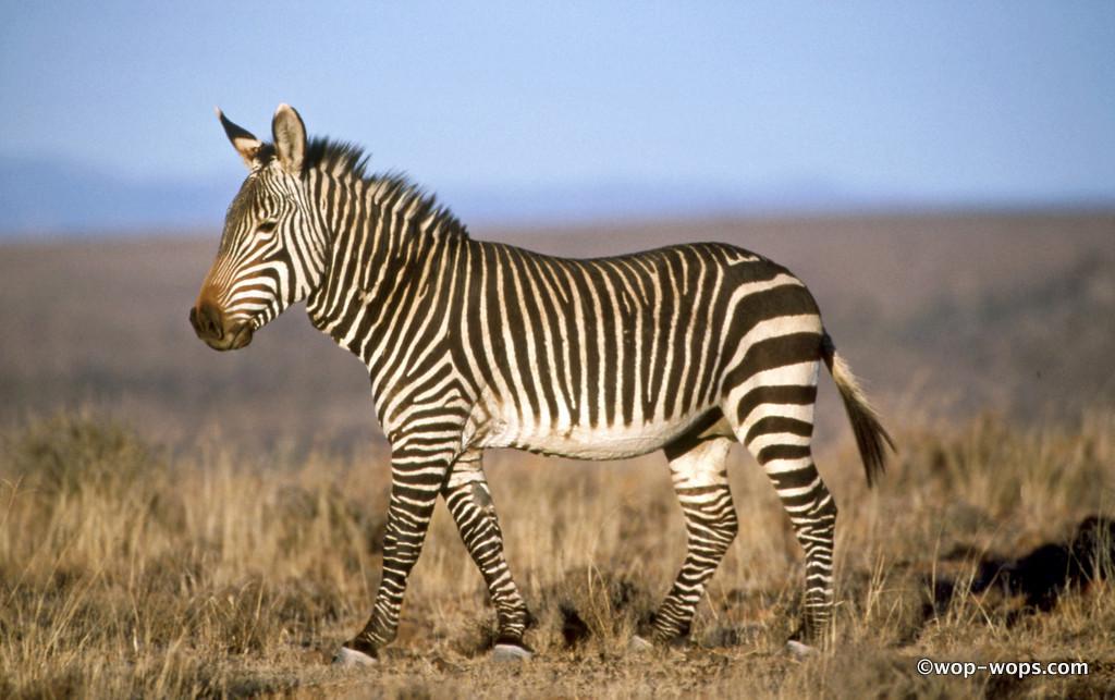 Mountain Zebra, Namibia, 2010