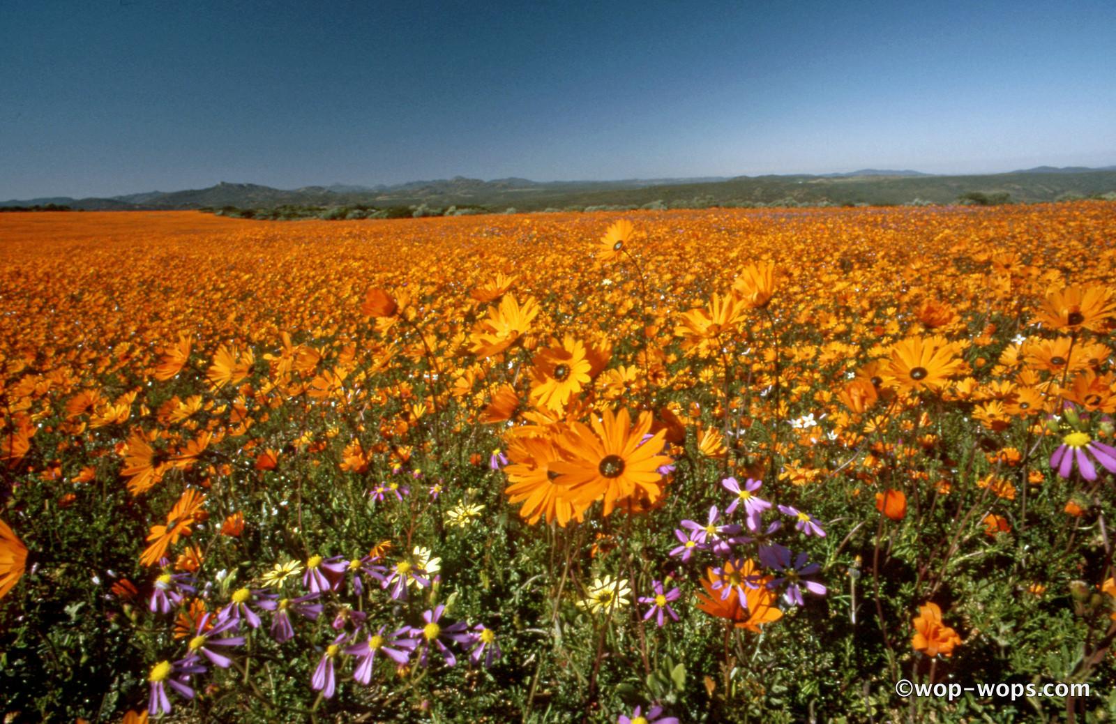 Wildflowers, Namibia, 1986
